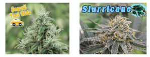 Cannabis Strain Varieties Belfast Maine Marijuana